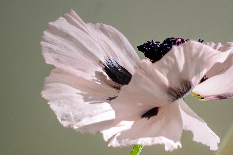 poppy butterfly