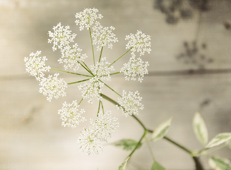 Queen-Anne's Lace