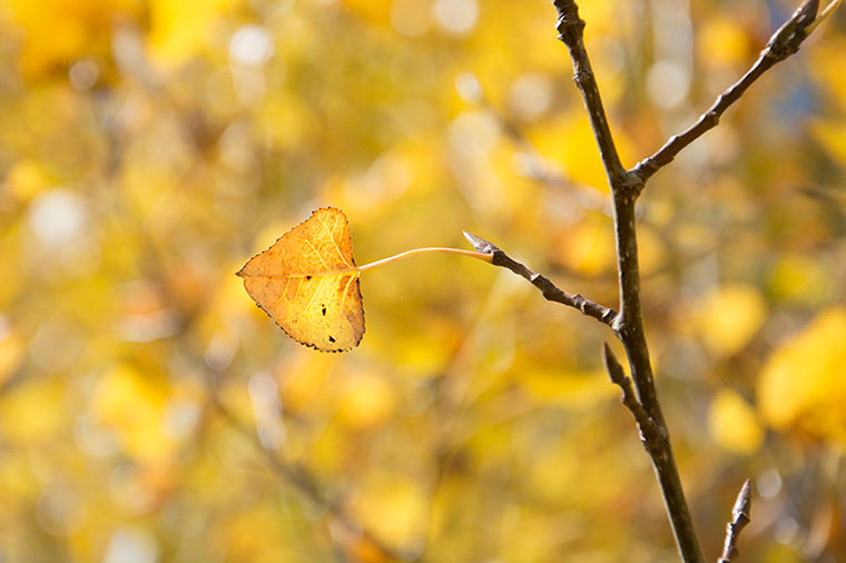 Yellow-Single-Autumn-Leaf