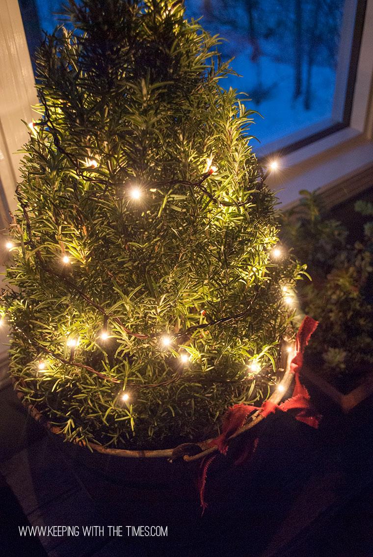 Rosemary-Plant-at-night-copy