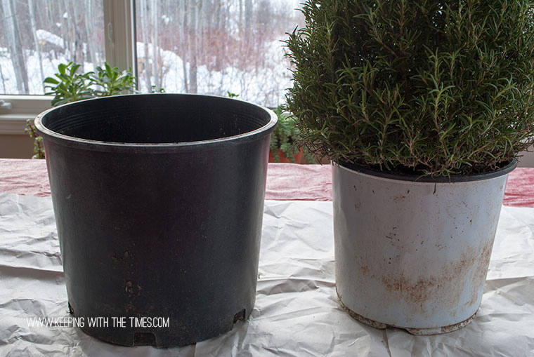 How to care for fresh rosemary