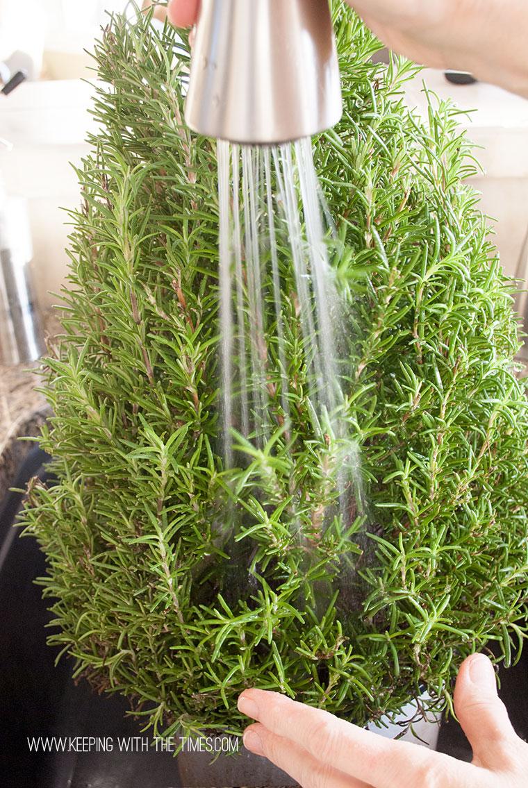 Rosemary-Plant_0034-copy
