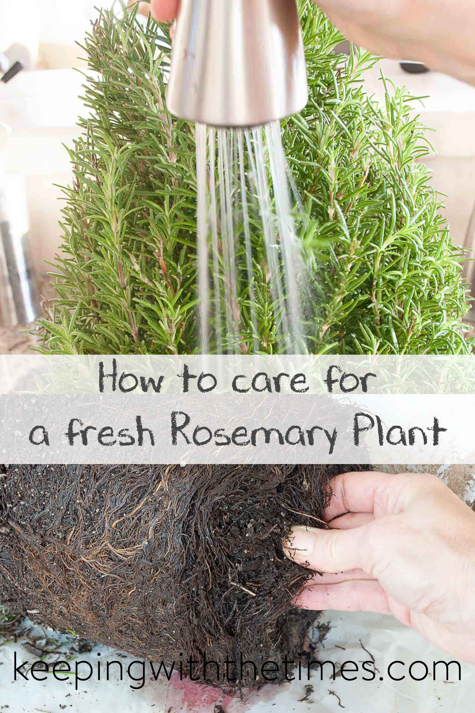 How to Care for Fresh Rosemary, Tips for keeping your rosemary plant vigourous.