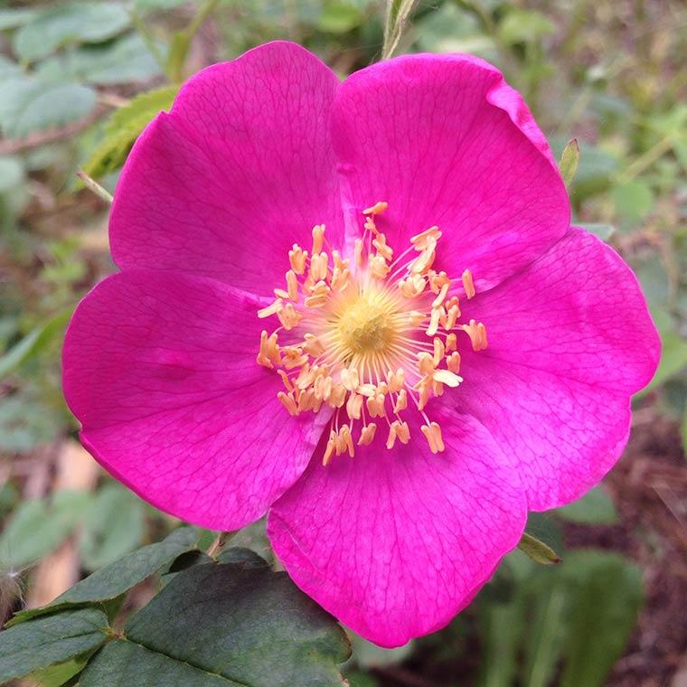alberta-rose-copy