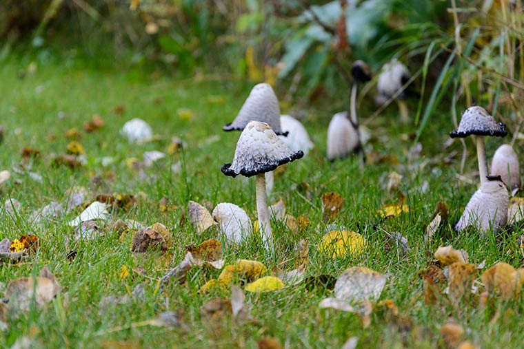 shaggy ink cap mushroom {keeping with the times dot com}