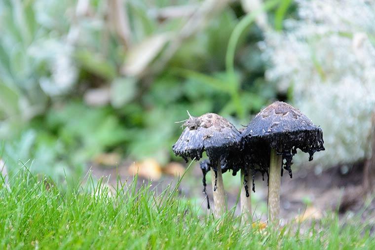 shaggy ink cap mushroom_05