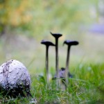 shaggy ink cap mushroom_07