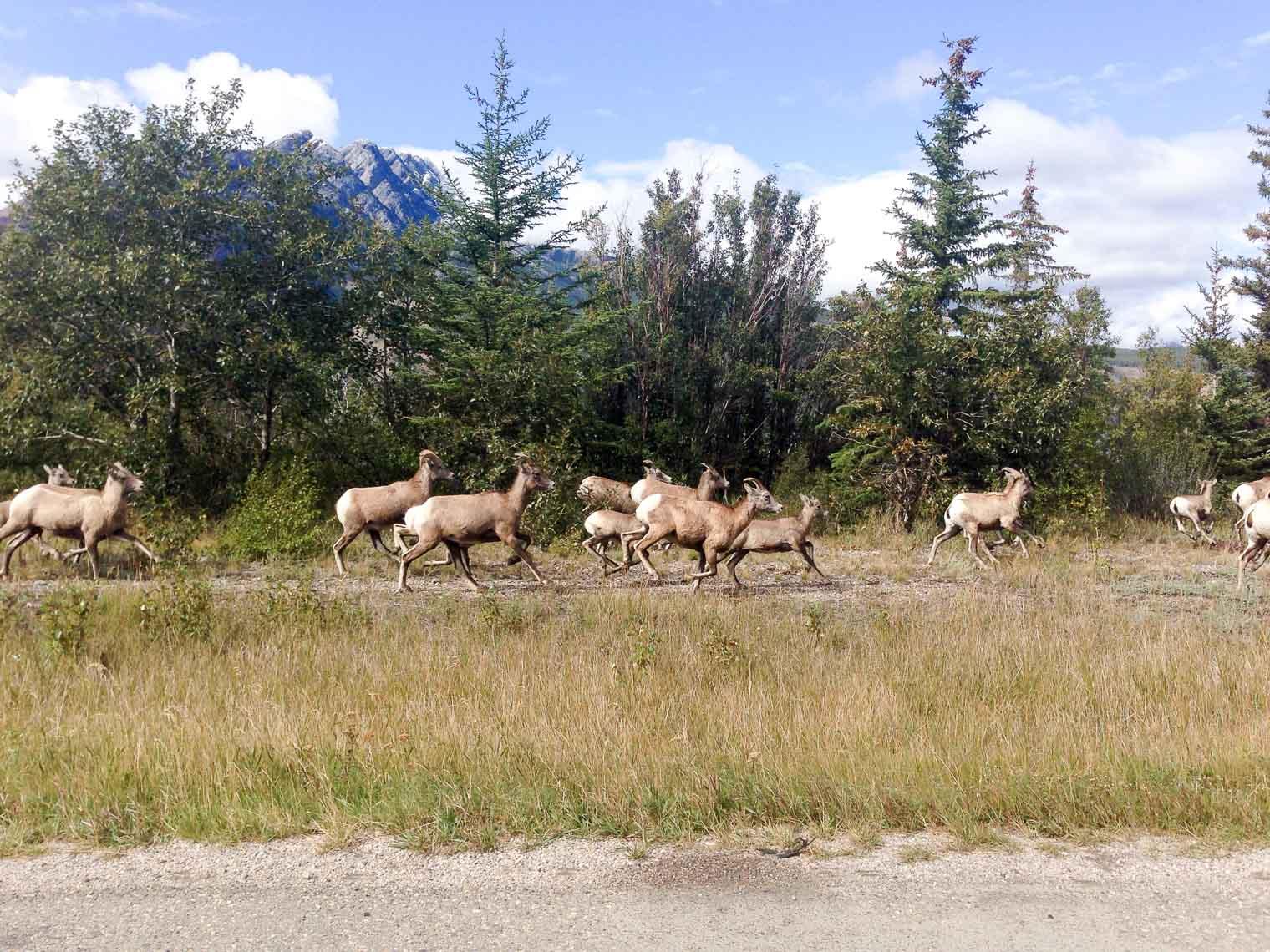 Bighorn-Sheep-4