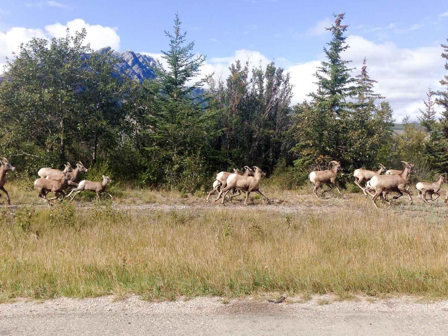Bighorn-Sheep-5