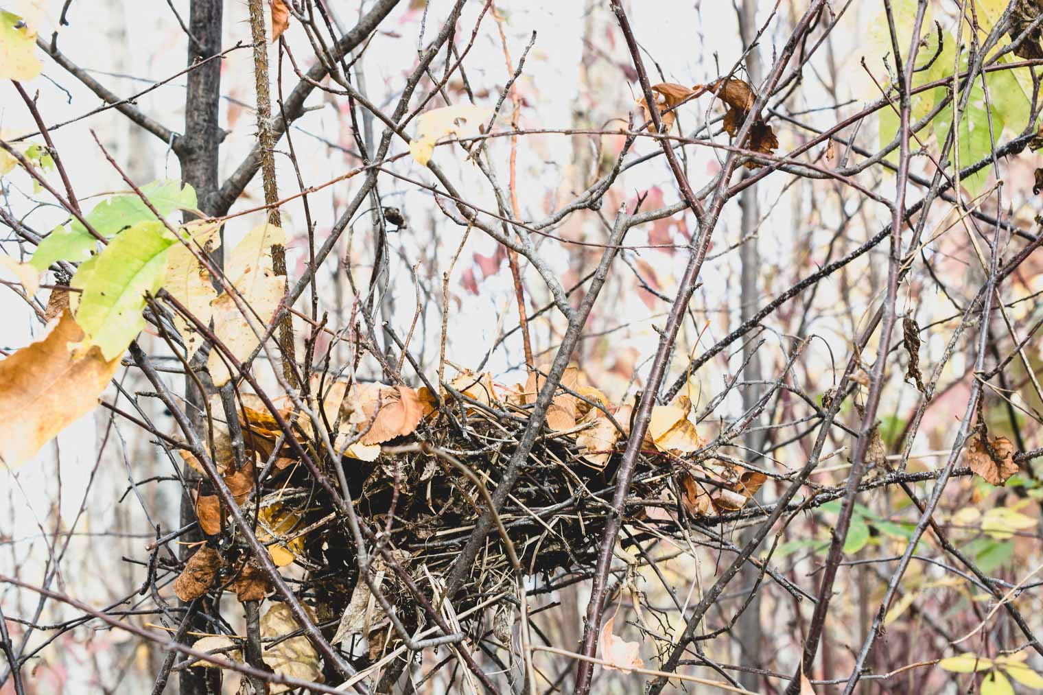 Bird Nest in Rose Bush