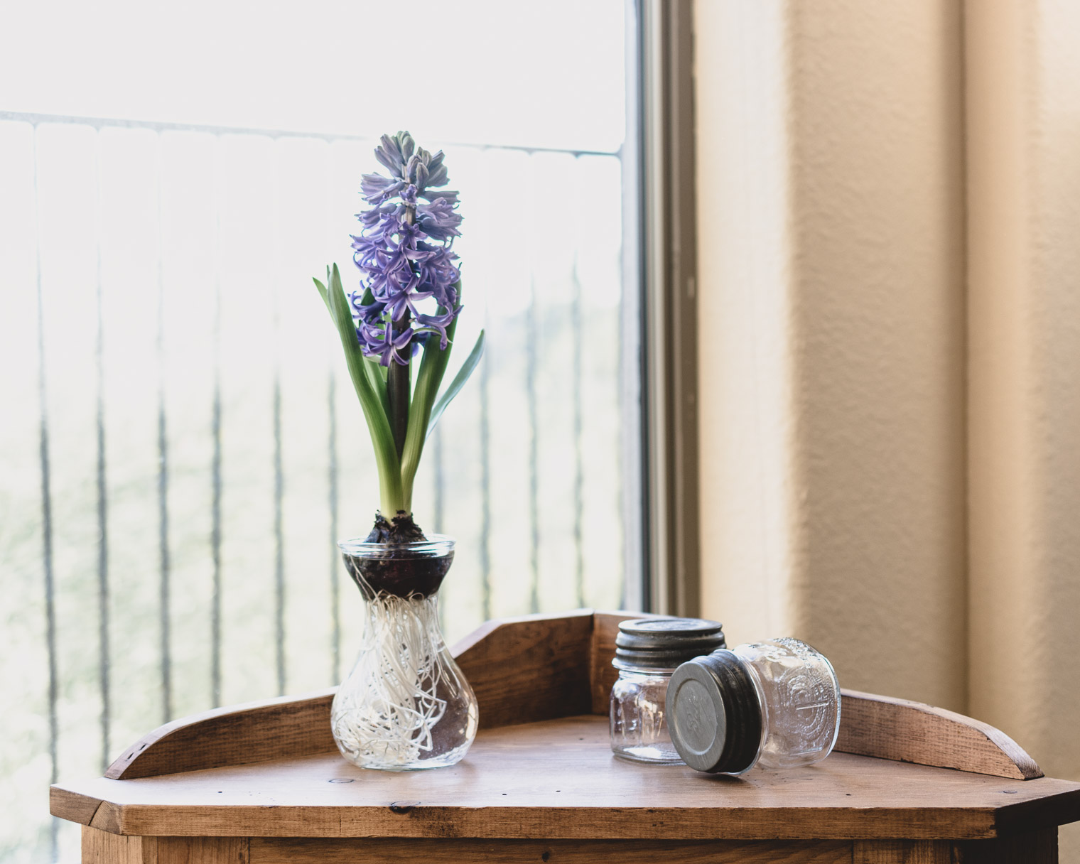 Hyacinth Bulb in Glass Vase