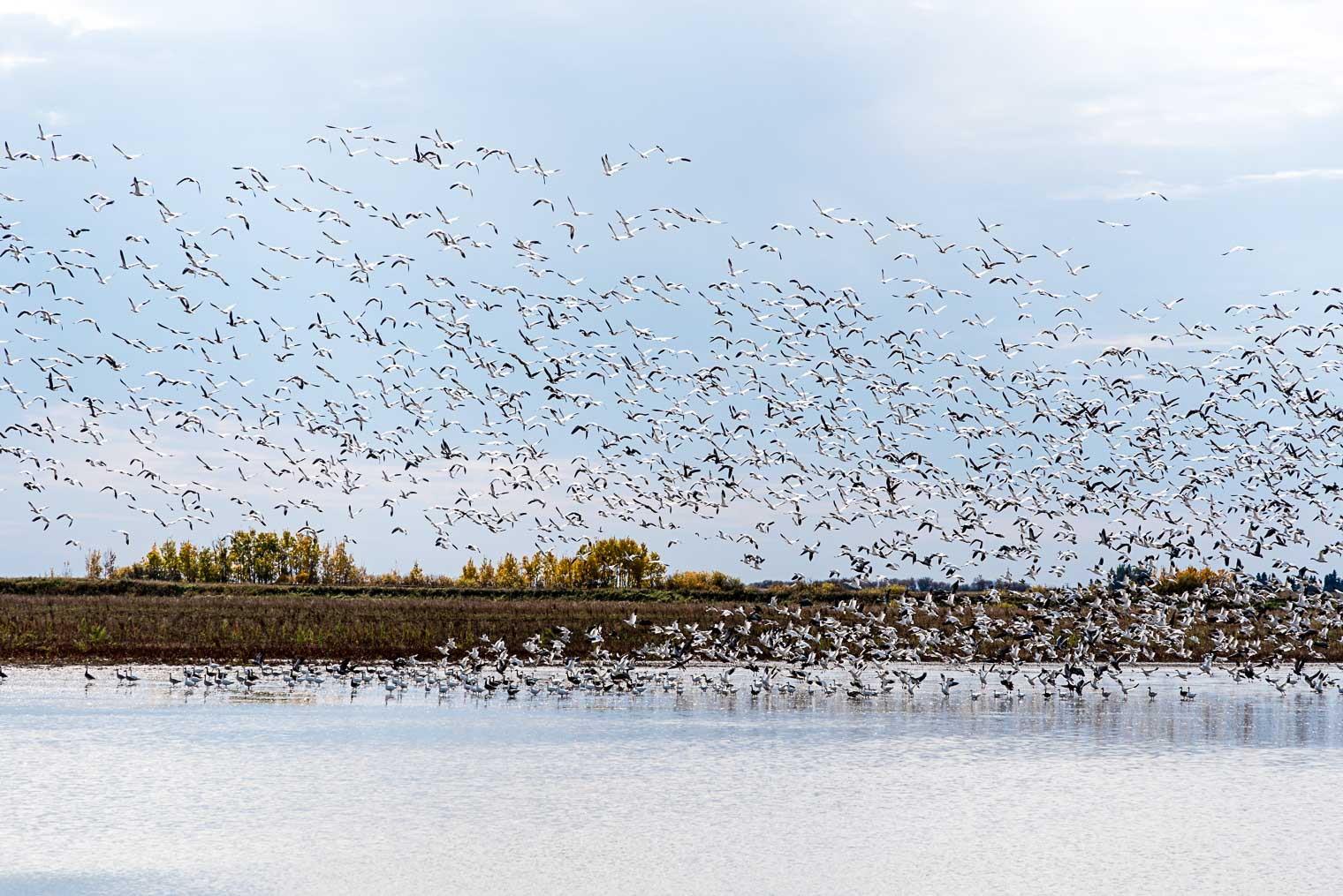 Snow Geese migration, Keeping With the Times, Barb Brookbank
