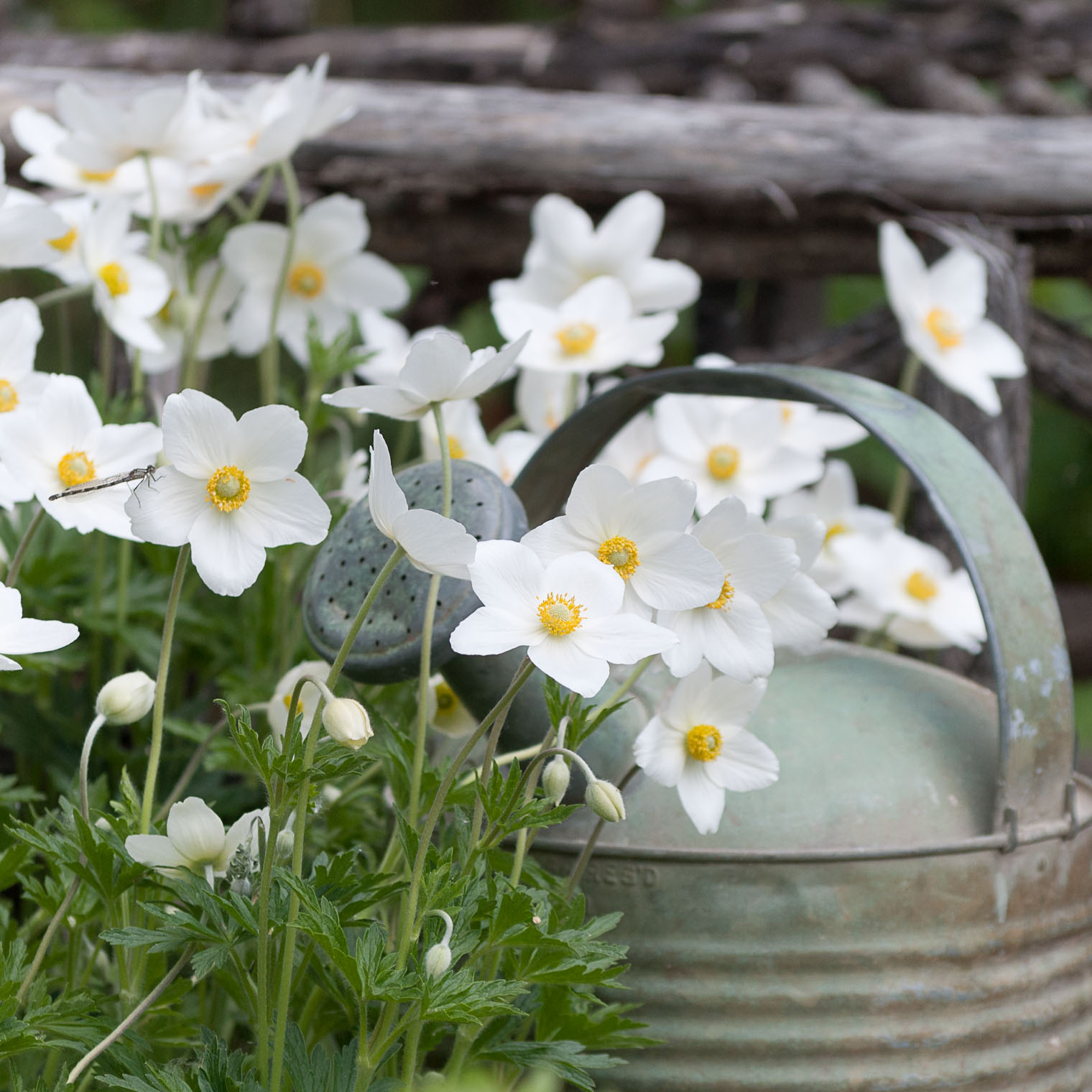 Hope Springs Eternal, Anemone Bulbs, Still Life, Flatlay, Barb Brookbank